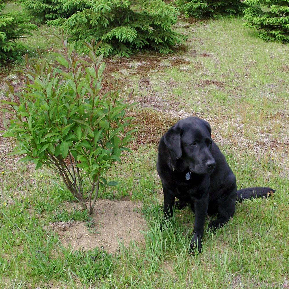Un premier lilas planté