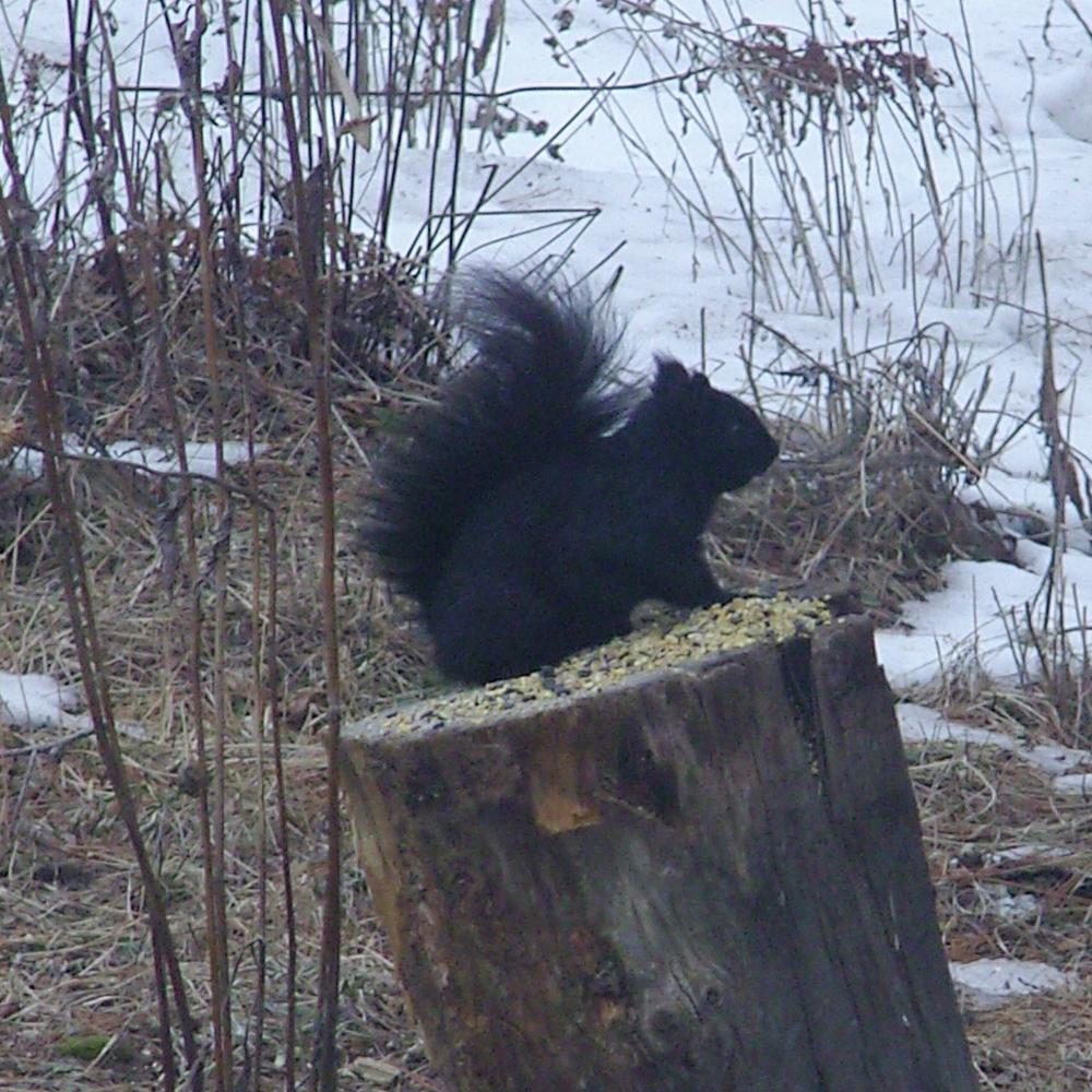 Écureuil… noir!