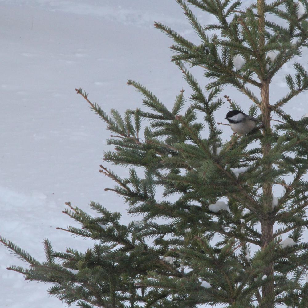 Deuxième vie pour arbre de Noël