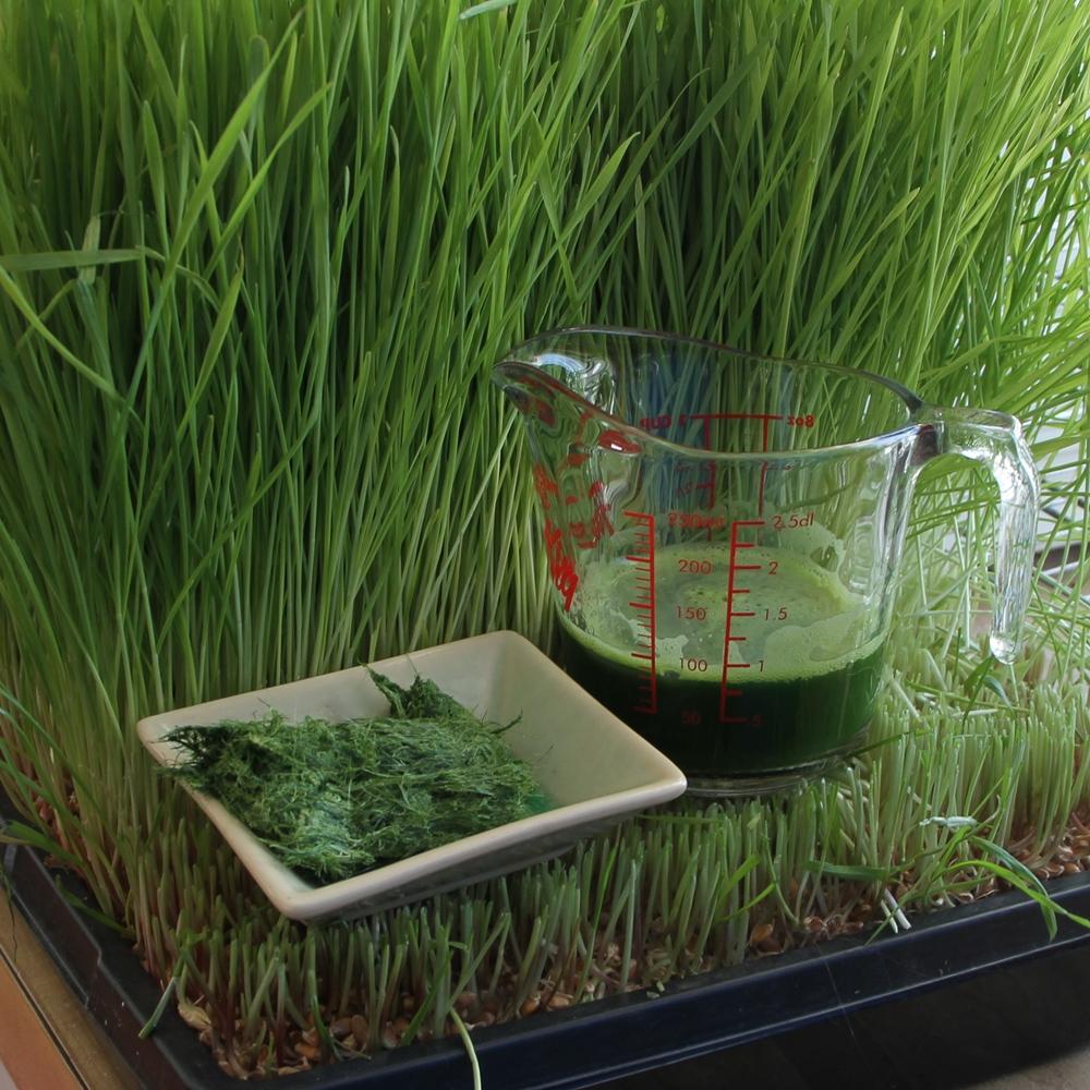 L'herbe de blé et moi