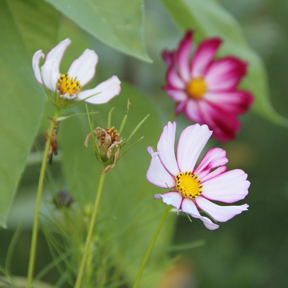 fleurs de la fin août – les campagnonades