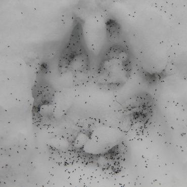 Collemboles communs (Hypogastrura nivicola) ou puces des neiges