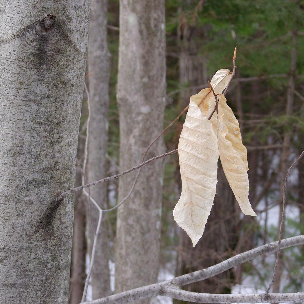 h u00eatre  u00e0 grandes feuilles  u2013 les campagnonades