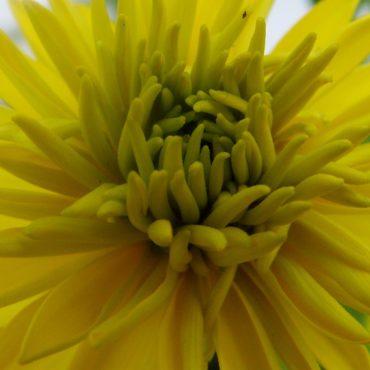 Macro du vendredi: Rudbeckie lanciniée