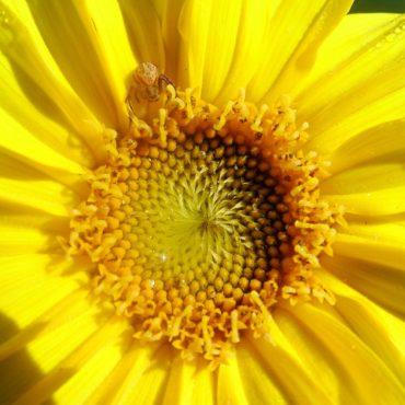 Nature du dimanche: Tournesol et résidente