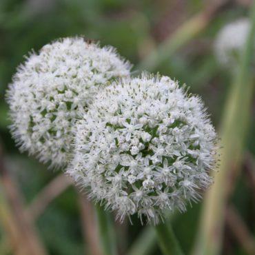 Nature du dimanche: Fleurs de ciboulette à l'ail