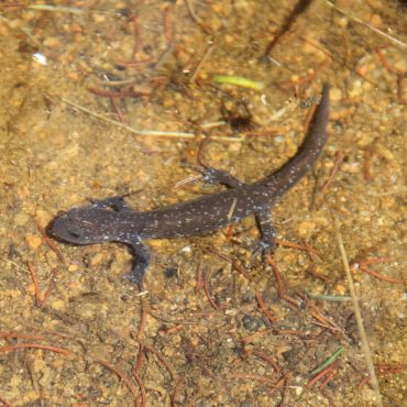 Salamandre à points bleus
