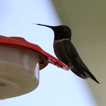 Nature du dimanche: Langue de colibri