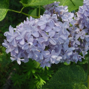Nature du dimanche: Lilas