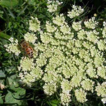 Nature du dimanche: Fleur de carotte en pleine pollinisation