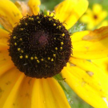 Macro du vendredi: Pollen de rudbeckie