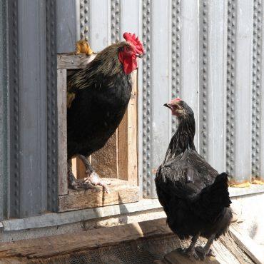 Jolies poulettes
